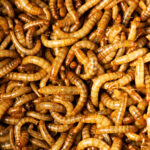 Meal Worms